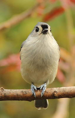Tufted Titmouse Photograph - Ready For Winter by Ellen Ryan
