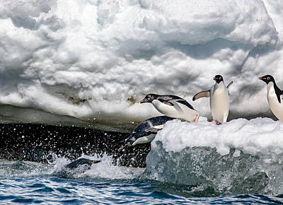 Penguin Wall Art - Photograph - Ready, Jump by Siyu And Wei