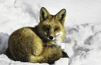 Ready Red Fox Art Print