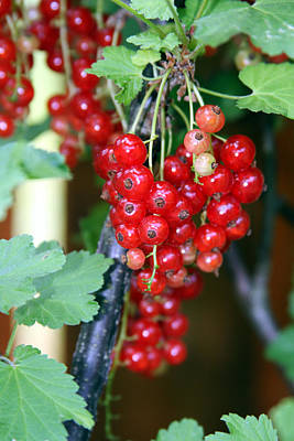 Photograph - Ready To Eat Berries by Vadim Levin