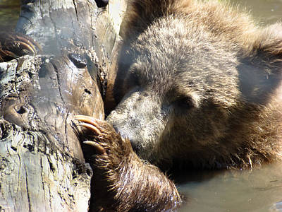 Brown Bear Photograph - Ready To Play by Dora Miller