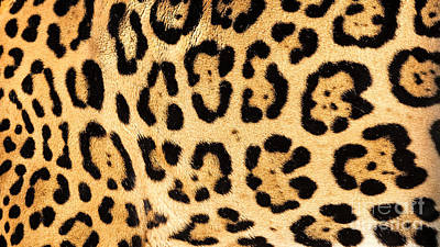 Print Cat Photograph - Real Jaguar Skin by Sarah Cheriton-Jones