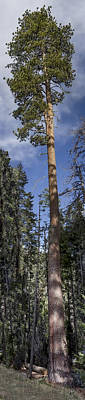 Digital Art - Really Tall Tree  by Photographic Art by Russel Ray Photos