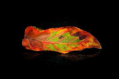 Photograph - Reclining Leaf by Beth Akerman
