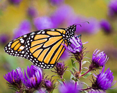 Photograph - Reclining Monarch by Bill Pevlor