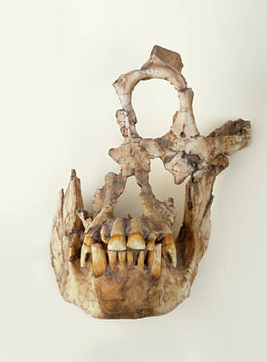 Reconstructed Skull Of Extinct Primate Art Print
