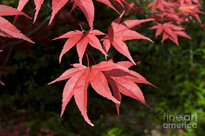 Photograph - Red Acer Leaves by Mark Boulton