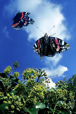 Vanessa Wall Art - Photograph - Red Admiral Butterflies In Flight by Dr. John Brackenbury/science Photo Library