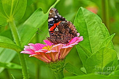 Photograph - Red Admiral Butterfly And Zinnia Flower by Byron Varvarigos