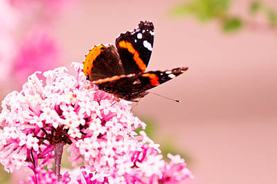 Photograph - Red Admiral Butterfly by Ben Graham