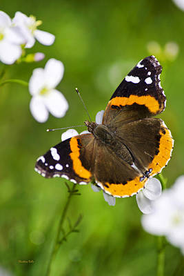 Photograph - Red Admiral Butterfly by Christina Rollo