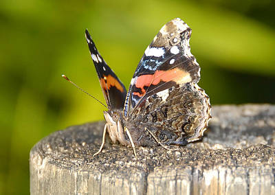 Red Admiral Butterfly Art Print by David Lee Thompson