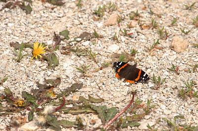 Photograph - Red Admiral Butterfly by Deborah Smolinske