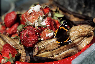 Vanessa Wall Art - Photograph - Red Admiral Butterfly Drinking by Sally Mccrae Kuyper/science Photo Library