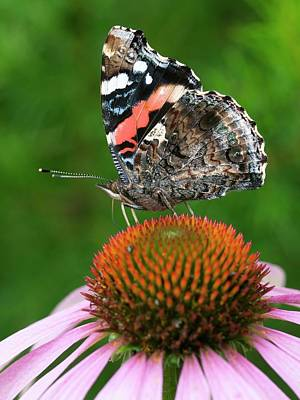 Vanessa Wall Art - Photograph - Red Admiral Butterfly Feeding by Dr Jeremy Burgess/science Photo Library