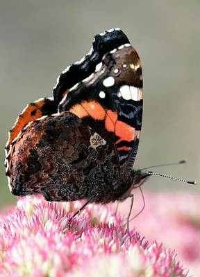 Vanessa Wall Art - Photograph - Red Admiral Butterfly Feeding by Rachel Warne/science Photo Library