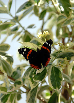 Photograph - Red Admiral Butterfly by Kenny Glover