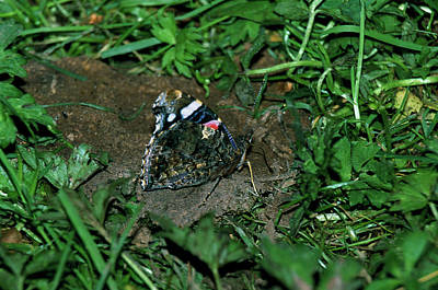 Vanessa Wall Art - Photograph - Red Admiral Butterfly by Leslie J Borg/science Photo Library