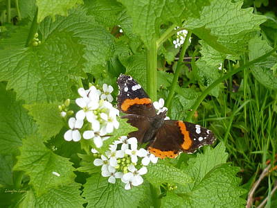 Art Print featuring the photograph Red Admiral Butterfly by Lingfai Leung