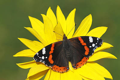 Animals And Insects Photograph - Red Admiral Butterfly Netherlands by Silvia Reiche