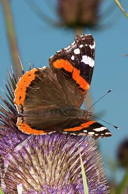 Vanessa Wall Art - Photograph - Red Admiral Butterfly On Teasel by Dr. John Brackenbury/science Photo Library