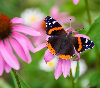 Art Print featuring the photograph Red Admiral Butterfly by Patti Deters