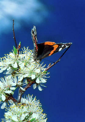 Vanessa Wall Art - Photograph - Red Admiral Butterfly (vanessa Atalanta) Feeding by William Ervin/science Photo Library