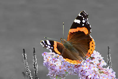 Photograph - Red Admiral Butterfly by Veli Bariskan