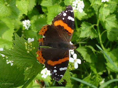 Art Print featuring the photograph Red Admiral In Toronto by Lingfai Leung