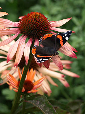 Photograph - Red Admiral On Coneflower by Gill Billington