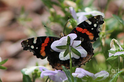 Red Admiral  Art Print by Sarah Boyd