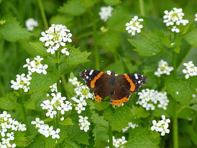 Art Print featuring the photograph Red Admirals by Lingfai Leung