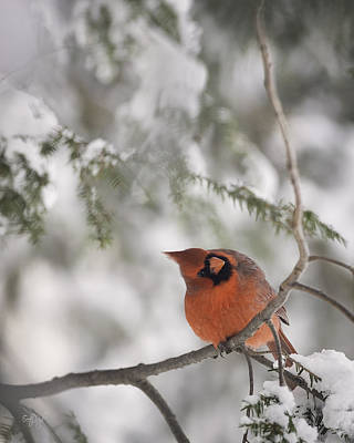 Northern Cardinal Photograph - Red Alert by Everet Regal