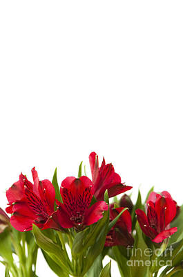 Day Lilies Photograph - Red Alstroemeria by Anne Gilbert
