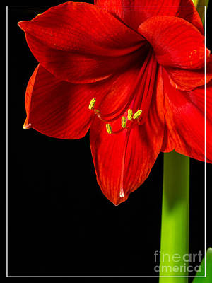 Boarder Photograph - Red Amaryllis Flower by Edward Fielding