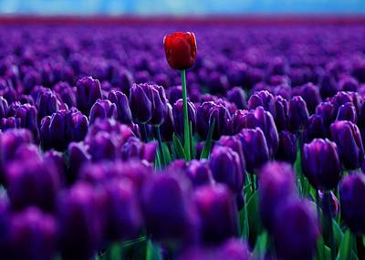 Photograph - Red Amidst Purple by Benjamin Yeager