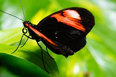 Photograph - Red And Black Butterfly On Leaf by Mike Murdock