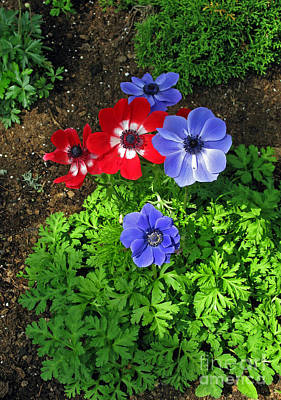 Photograph - Red And Blue Anemones by Ausra Huntington nee Paulauskaite