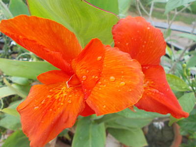 Photograph - Red And Dew  by Archana Saxena