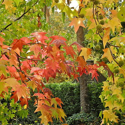 Photograph - Red And Gold Liquidambar Leaves by Kirsten Giving