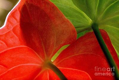 Photograph - Red And Green Anthurium by Ranjini Kandasamy