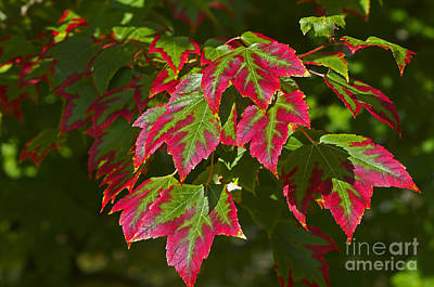Photograph - Red And Green Leaves by Sharon Talson