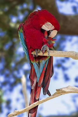 Macaw Digital Art - Red And Green Macaw by Bill Tiepelman