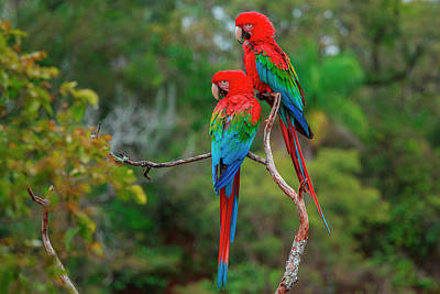Photograph - Red-and-green Macaws, Ara Chloroptera by Mint Images/ Art Wolfe
