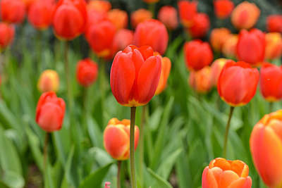 Photograph - Red And Orange Tulip In Spring by Brandon Bourdages