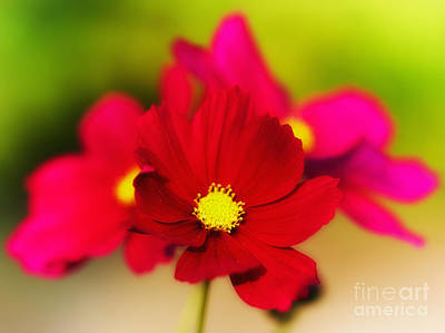 Photograph - Red And Pink Aster Flowers by Nick  Biemans