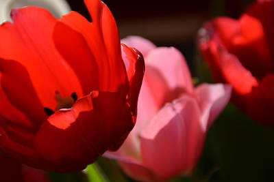 Photograph - Red And Pink Tulips by Bonnie Myszka
