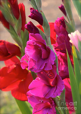 Gladiola. Red Gladiola Photograph - Red And Purple Gladiolus by Carol Groenen