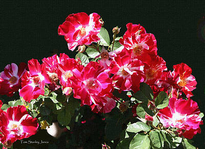 Red And Whit Roses Art Print