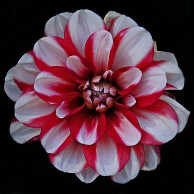 Photograph - Red And White Dahlia by Patricia Strand